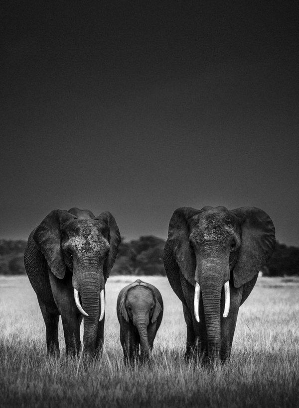 LR- 7580-Elephant-Body guards, Kenya 2013 © Laurent Baheux
